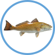 Catch Redfish on Clearwater Inshore Fishing Charters