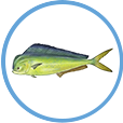 Catch Mahi on Clearwater Offshore Fishing Charters
