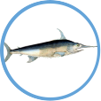 Catch Swordfish on on Clearwater Offshore Fishing Charters