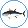 Catch Tuna on Clearwater Offshore Fishing Charters