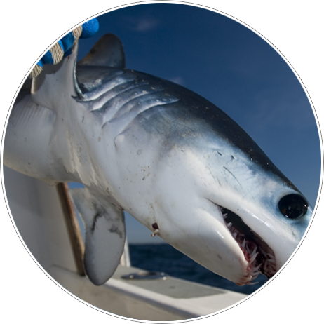Tampa Bay Shark Fishing Charter