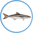 Catch Cobia on on St Pete Beach Deep Sea Fishing Charters